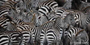 Group of Burchell's Zebras (Equus quagga burchellii) standing together, Masai Mara National Reserve, Kenya