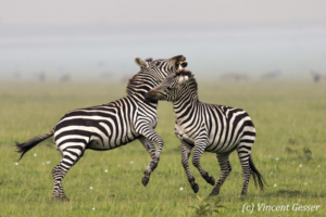 Two Burchell's Zebras (Equus quagga burchellii) fighting, Masai Mara National Reserve, Kenya