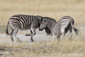 Two Burchell's Zebras (Equus quagga burchellii) fighting, Moremi National Park, Botswana