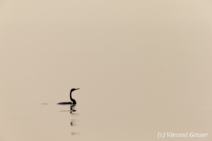 Shadows of African Darter (Anhinga rufa) taking off, Lake Kariba, Zimbabwe, 1