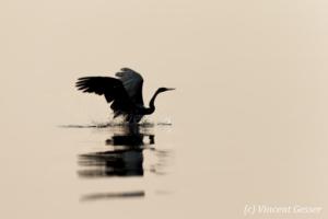 Shadows of African Darter (Anhinga rufa) taking off, Lake Kariba, Zimbabwe, 2