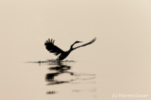 Shadows of African Darter (Anhinga rufa) taking off, Lake Kariba, Zimbabwe, 3