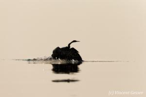 Shadows of African Darter (Anhinga rufa) taking off, Lake Kariba, Zimbabwe, 4