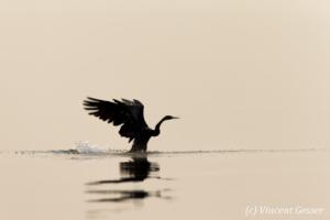 Shadows of African Darter (Anhinga rufa) taking off, Lake Kariba, Zimbabwe, 5