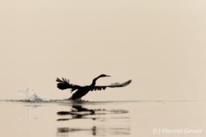 Shadows of African Darter (Anhinga rufa) taking off, Lake Kariba, Zimbabwe, 6