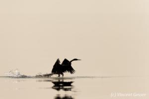 Shadows of African Darter (Anhinga rufa) taking off, Lake Kariba, Zimbabwe, 7