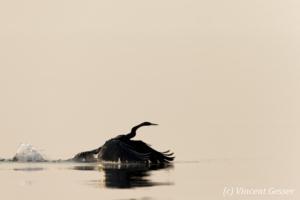 Shadows of African Darter (Anhinga rufa) taking off, Lake Kariba, Zimbabwe, 8