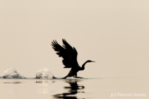Shadows of African Darter (Anhinga rufa) taking off, Lake Kariba, Zimbabwe, 9