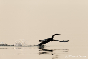 Shadows of African Darter (Anhinga rufa) taking off, Lake Kariba, Zimbabwe, 10