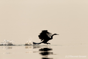 Shadows of African Darter (Anhinga rufa) taking off, Lake Kariba, Zimbabwe, 11