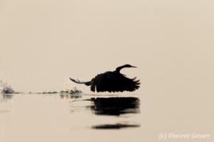 Shadows of African Darter (Anhinga rufa) taking off, Lake Kariba, Zimbabwe, 13