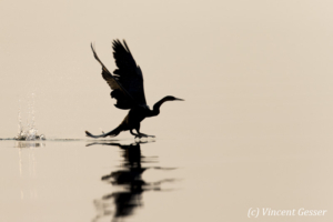 Shadows of African Darter (Anhinga rufa) taking off, Lake Kariba, Zimbabwe, 14