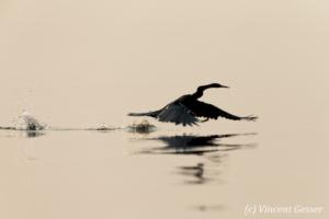 Shadows of African Darter (Anhinga rufa) taking off, Lake Kariba, Zimbabwe, 15