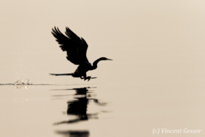 Shadows of African Darter (Anhinga rufa) taking off, Lake Kariba, Zimbabwe, 16