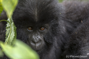 Young Mountain gorilla (Gorilla beringei beringei) portrait, Virunga National Park, Rwanda