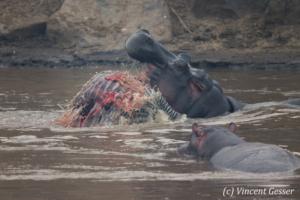 hippopotame-et-crocodile-002-_v8q1941