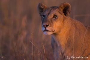Lion (Panthera leo) in the red dusk light, Masai Mara National Reserve, Kenya