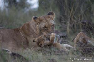 lion-100-_v8q2773