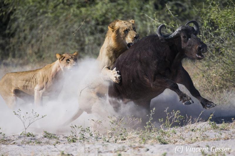 lion-et-buffle-007-_dx_1587
