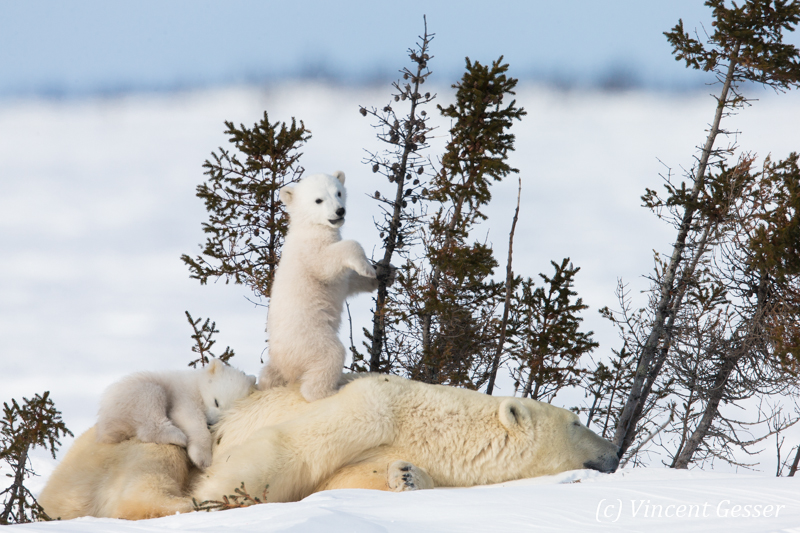 Polar bear (Ursus maritimus) mother and two cubs, Canada, Manitoba, 27