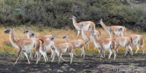 Group of Guanocos (Lama guanicoe) walking in Torres del Paine National Park, Chile
