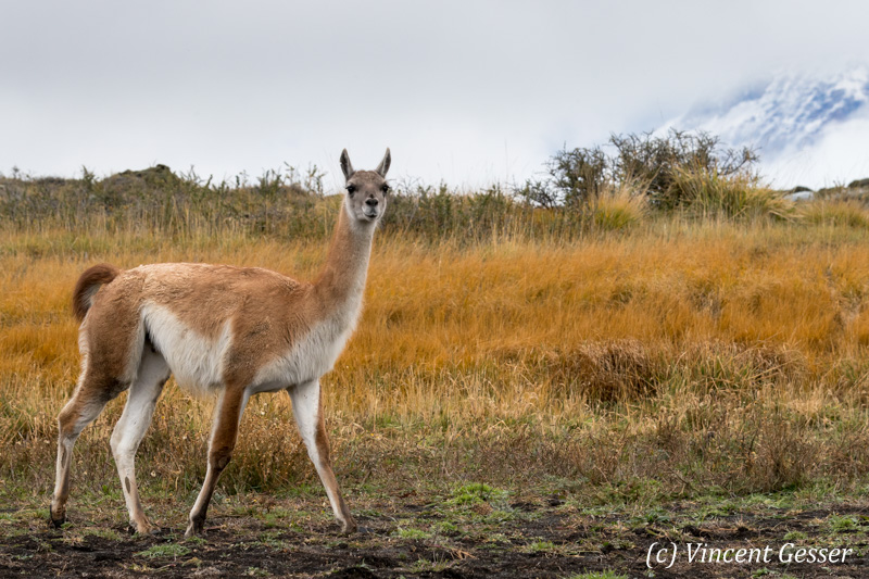 Guanoco (Lama guanicoe) walking in Torres del Paine National Park, Chile