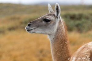 Portrait of a Guanoco (Lama guanicoe) walking in Torres del Paine National Park, Chile
