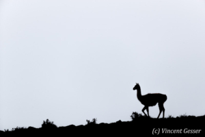 Guanoco (Lama guanicoe) silhouette in Torres del Paine National Park, Chile