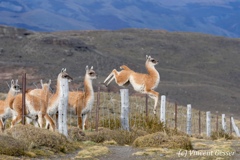 Young Guanoco (Lama guanicoe) jumping over a fence in Torres del Paine National Park, Chile