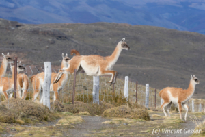 One Guanoco (Lama guanicoe) jumping over a fence in Torres del Paine National Park, Chile
