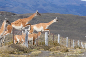Two Guanoco (Lama guanicoe) jumping over a fence in Torres del Paine National Park, Chile