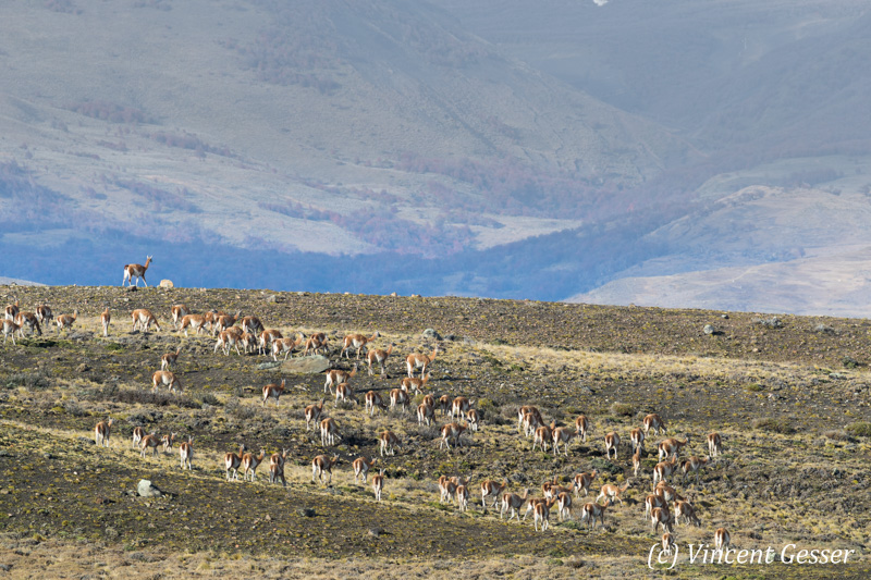 Group of Guanocos (Lama guanicoe) in the landscape of Torres del Paine National Park, Chile