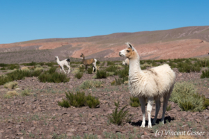 Lamas (Lama glama) of the Atacama Desert, Chile