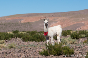 Young Lama (Lama glama) of the Atacama Desert, Chile
