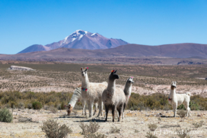 Lamas (Lama glama) of South Lipez, Bolivia