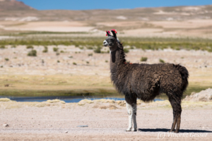 Lama (Lama glama) of South Lipez, Bolivia