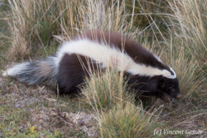 Patagonian hog-nosed skunk (Zorillo Patagon) in Torres del Paine National Park, Chile