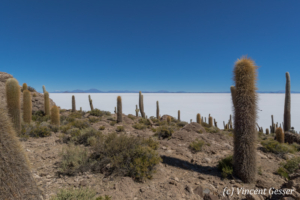 Landscapes of cactus on Isla Incahuasi, on the Salar of Uyuni, Bolivia