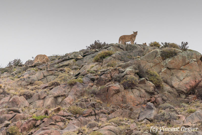 Two Pumas (Puma concolor) of Torres del Paine National Park, Patagonia, Chile
