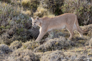 Puma (Puma concolor) of Torres del Paine National Park, Patagonia, Chile
