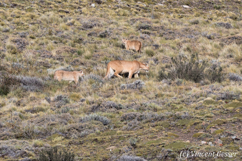 Family of pumas (Puma concolor) of Torres del Paine National Park, Patagonia, Chile