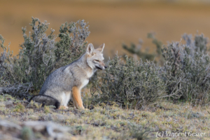 South American gray fox (Lycalopex griseus) of Torres del Paine National Park, Patagonia, Chile