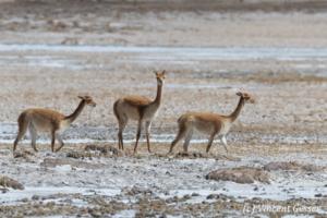 Three Vicugnas (Vicugna vicugna) on a Salt Plain of the Atacama Desert, Chile