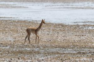 One young Vicugna (Vicugna vicugna) on a Salt Plain of the Atacama Desert, Chile