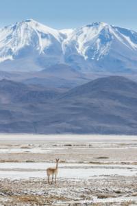 One Vicugna (Vicugna vicugna) in a mountain landscape of the Atacama Desert, Chile