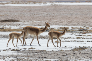 Three Vicugnas (Vicugna vicugna) on a Salt Plain of the Atacama Desert, Chile