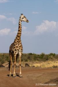 Adult Maasai Giraffe (Giraffa camelopardalis tippelskirchi) observing, Masai Mara National Reserve, Kenya