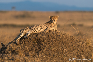 Cheetah (Acinonyx jubatus) laying at sunset, Masai Mara National Reserve, Kenya