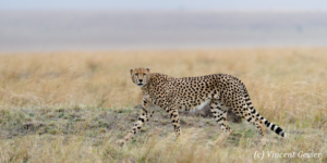 Cheetah (Acinonyx jubatus) walking, Masai Mara National Reserve, Kenya