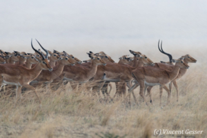 Group of impalas (Aepyceros melampus melampus) in the rain, Masai Mara National Reserve, Kenya
